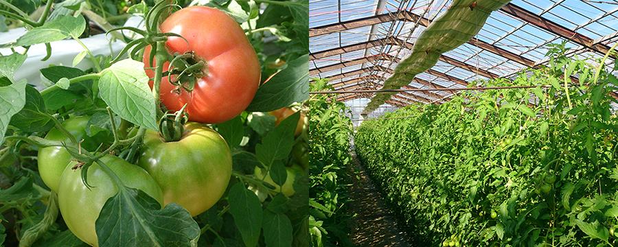 夢咲トマト