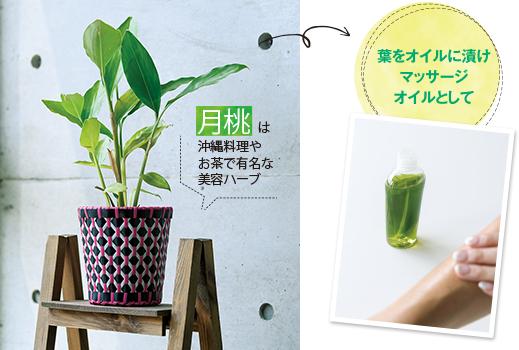 月桃は沖縄料理やお茶で有名な美容ハーブ