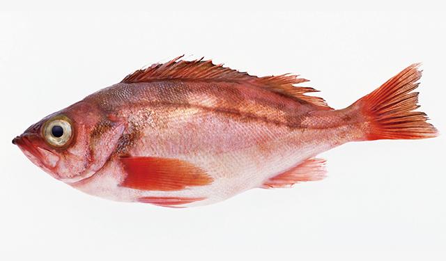 さかな歳時記「二十四節気・清明」 目を見張るおいしさの春告魚