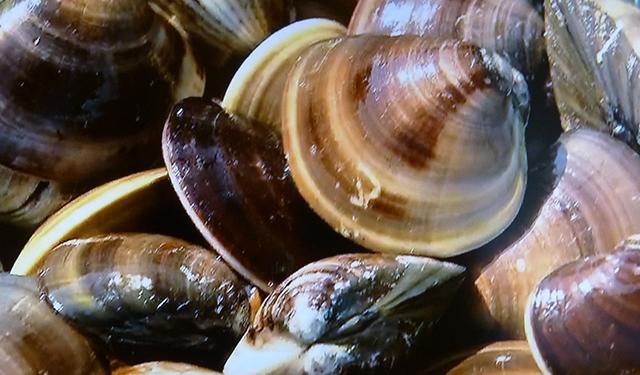 さかな歳時記「二十四節気・啓蟄」 ぷっくり まろやか 伝説の貝
