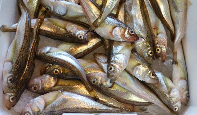 さかな歳時記「二十四節気・小雪」 神の魚、降臨。